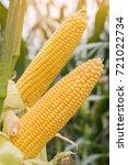 corn growing in field plant... | Shutterstock . vector #721022734