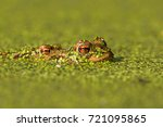 bufo bufo the common toad ... | Shutterstock . vector #721095865
