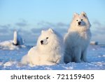 white fluffy dog samoyed sits... | Shutterstock . vector #721159405