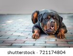Dog Breed Rottweiler  Vomit
