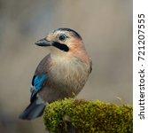 eurasian jay on the winter bird ... | Shutterstock . vector #721207555