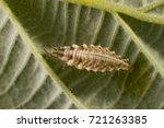 Green Lacewing Larva On...