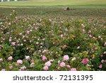 Pink Crimean Rose In Sunny...