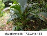 jungle  tropical rainforest  of ... | Shutterstock . vector #721346455