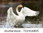 Beautiful Whooper Swan...