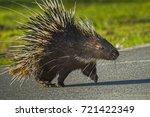 east asian porcupine running... | Shutterstock . vector #721422349