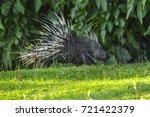 east asian porcupine running... | Shutterstock . vector #721422379