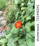 "Small photo of ""Ipomoea coccinea"" of orange color wildflowers in autumn"
