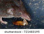 common shrew  sorex araneus  | Shutterstock . vector #721483195