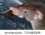 common shrew  sorex araneus  | Shutterstock . vector #721483309
