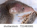 common shrew  sorex araneus  | Shutterstock . vector #721483381