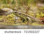 lacerta agilis closeup in... | Shutterstock . vector #721502227