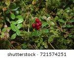 lingonberry  vaccinium vitis... | Shutterstock . vector #721574251