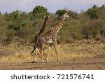 masai giraffe  giraffa... | Shutterstock . vector #721576741