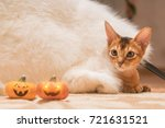Small photo of Cat under a white fur blanket with two Hallowe'en pumpkins. Toned