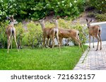 A Family Of Deer Eating Rose...
