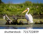 pelican in danube delta  romania | Shutterstock . vector #721722859