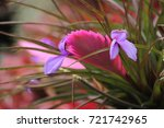 the portrait of pink tillandsia ... | Shutterstock . vector #721742965