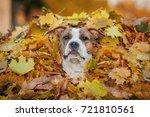american staffordshire terrier... | Shutterstock . vector #721810561
