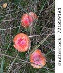 Small photo of Amanita muscaria