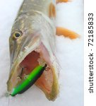 Pike caught on green hardbait in winter - stock photo