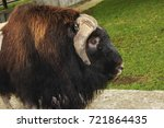 profile of a sad musk ox in a... | Shutterstock . vector #721864435