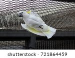 african white parrot cockatoos... | Shutterstock . vector #721864459