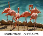 A Group Of Six Flamingoes...