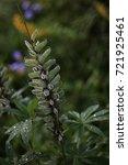 lupine after the rain. | Shutterstock . vector #721925461