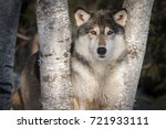 Small photo of Grey Wolf (Canis lupus) Stares Out Between Trees - captive animal