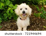 Stock photo happy dog is a cute fluffy white little puppy dog with a big smile on his face 721944694
