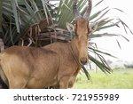 Small photo of A Lelwel hartebeest (Alcelaphus buselaphus lelwel) near Murchison Falls National Park, Uganda.