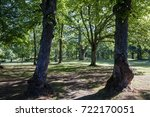 Old Huge Linden Trees In The...