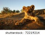 closeup shot of lion cub ... | Shutterstock . vector #72219214