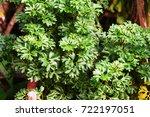 polyscias   araliaceae   green... | Shutterstock . vector #722197051