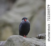 Small photo of Portrait of ringed Inca Tern birds on rocks in natural habitat
