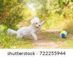 Stock photo beautiful and cute puppy of white poodle playing outside in summer nature with a ball 722255944