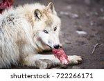 Arctic Wolf  Canis Lupus Arcto...