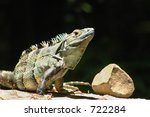 Black Iguana - stock photo