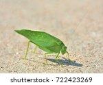 Katydid Insect