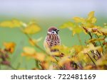 sparrow  passer domesticus ... | Shutterstock . vector #722481169