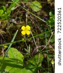 Small photo of Tormentil or septfoil Potentilla erecta flower macro, selective focus, shallow DOF.