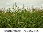 Small photo of Closeup side view of a field of corn in autumn with stalks, leaves and tassels filling lower two thirds of frame and sky with clouds in the upper third.