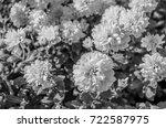 black and white chrysanthemum... | Shutterstock . vector #722587975