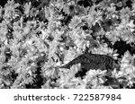 black and white chrysanthemum... | Shutterstock . vector #722587984