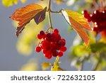 viburnum ripe  bright sunny... | Shutterstock . vector #722632105