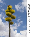 Small photo of Yellow and green flowering Parry'?s agave plant against blue sky with white clouds.