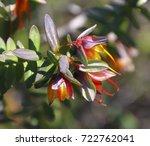 wildflower darwinia citriodora  ... | Shutterstock . vector #722762041