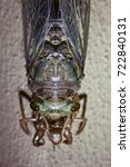 Small photo of A photo of a cicada from above emerging from it's shell.