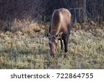 cow moose alces alces eating... | Shutterstock . vector #722864755